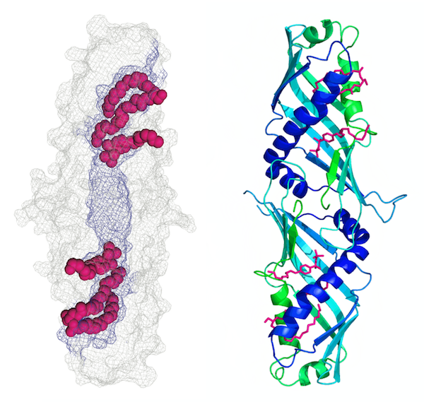 Structure of the lipid binding domain dimer of extended-synaptotagmin 2, an ER to plasma membrane tethering protein with a putative role in lipid transfer. From the work of Curtis Schauder, Xudong Wu, Pietro De Camilli and Karin Reinisch (Modified from Nature vol 510, 552-555, 2014).