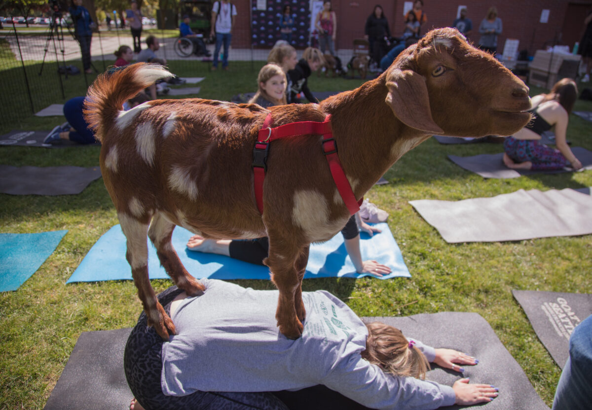 An example of goat yoga. This could be you.