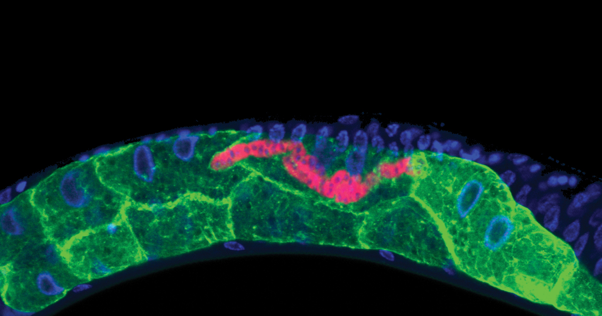 The microsporidium Nematocida parisii (labeled in red) is spreading intracellularly throughout the C. elegans intestine (labeled in green). DNA is labeled in blue. Image: Keir Balla, Emily Troemel